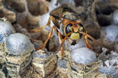 """Asian Giant """"Murder Hornets"""" Spotted In U.S."""