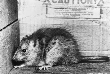 Brooklyn Rat Goes Viral For Photo Holding A Bottle Of Hennessy